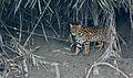 Leopard cat India.jpg
