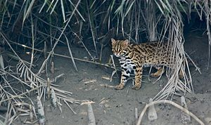 Leopard cat - A leopard cat photographed in the Sundarbans, India