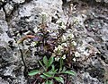 Lepidium virginicum ssp virginicum.jpg