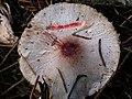 Lepiota roseifolia Murrill 577162.jpg