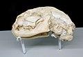 Leptofelis vallesiensis skull - Batallones 1 fossil site, Torrejón de Velasco, Madrid, Spain.jpg