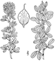 Lespedeza frutescens BB-1913.png