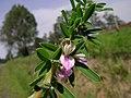 Lespedeza juncea flower4 (11139976773).jpg