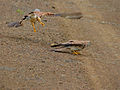 Lesser Kestrel (Falco naumanni) male taking off, female ready to go (12819497073).jpg
