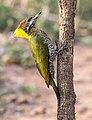Lesser Yellownape Female (46120107162).jpg