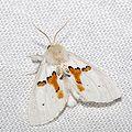 Leucodonta.bicoloria.7879.jpg