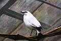 Leucopsar rothschildi -ZooParc de Beauval, France-6a.jpg