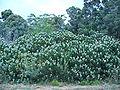 Leucospermum conocarpodendron subsp. viridum bush aspect 2.JPG