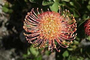 Leucospermum - Leucospermum cordifolium, Helderberg Nature Reserve, South Africa