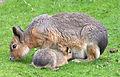 Lièvre de Patagonie et son petit.jpg