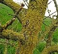 Lichen (27916548362).jpg
