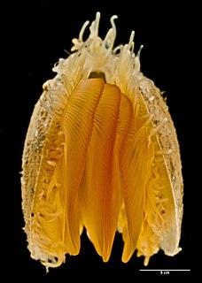 <i>Limaria orientalis</i>