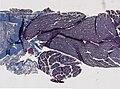Limulus polyphemus (YPM IZ 098228).jpeg