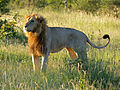 Lion (Panthera leo) after mating (13974233093).jpg