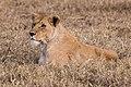 Lioness (28150180592).jpg