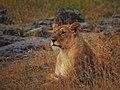 Lions @ Maasai Mara (20825392281).jpg