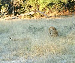 Lions in the savannah.jpg