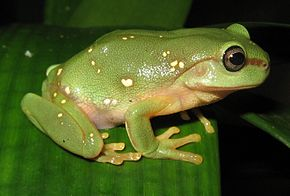 Description de l'image Litoria splendida morphling.jpg.