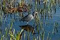Little Blue Heron ABDS-HR-LB-4.jpg