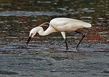 Little Egret (Egretta garzetta)- In Breeding plumage-actively catching prey in Kolkata I IMG 7990.jpg