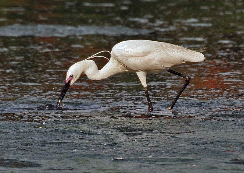 Little Egret (Egretta garzetta)- In Breeding plumage-actively catching prey in Kolkata I IMG 7990