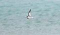 Little Tern (Sternula albifrons) (31217362582).jpg