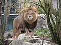 Loewe Panthera leo Tierpark Hellabrunn-16.jpg