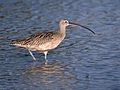 Long-billed Curlew 01.jpg