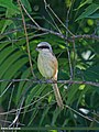 Long-tailed Shrike (Lanius schach) (15708696400).jpg