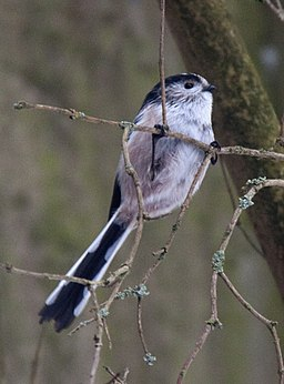 Long Tailed Tit (5279827305)