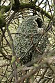 Long Tailed Tit Nest 10-04-12 (6919194038).jpg