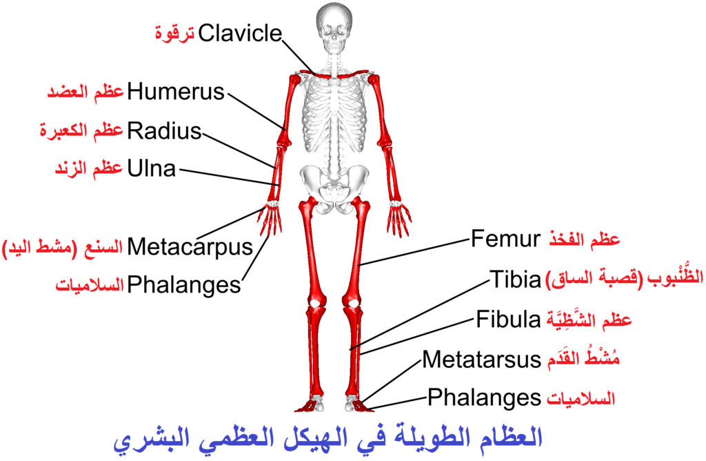 Long Bones Anterior View With Legend Arabic Ymg