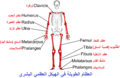 Long bones - anterior view - with legend Arabic YM.png