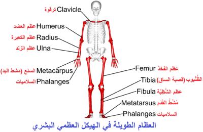 تشريح العضلات pdf