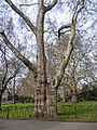 Looking across at the large London Plane trees in Lincoln's Inn Fields.jpeg