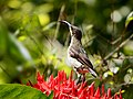 Loten's sunbird female (16563415809).jpg