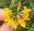 Lotus pedunculatus - Inflorescence-2.jpg