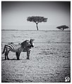 Love In Mara (145424257).jpeg