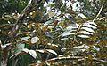 Luehea seemannii 2.jpg