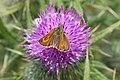 Lulworth skipper (Thymelicus acteon) female.jpg