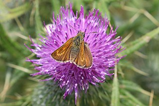 Lulworth skipper species of insect