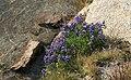 Lupine Lupinus rock water.jpg