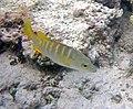 Lutjanus apodus (schoolmaster) (San Salvador Island, Bahamas) 1 (15996185389).jpg