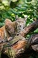 Lynx (21334908192).jpg