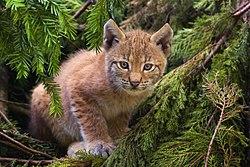 Un très jeune lynx