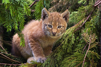 Biodiversity of Kosovo - The Balkan lynx subspecies is found in Kosovo.