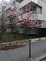 Lyon 7e - Rue Maurice Bouchor, magnolia en fleur.jpg