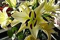 Lys à longue fleur (Lilium longiflorum) pas flou.jpg