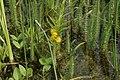 Lysimachia-thyrsiflora-habitat.JPG