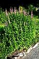 Lythrum salicaria prg 1.jpg